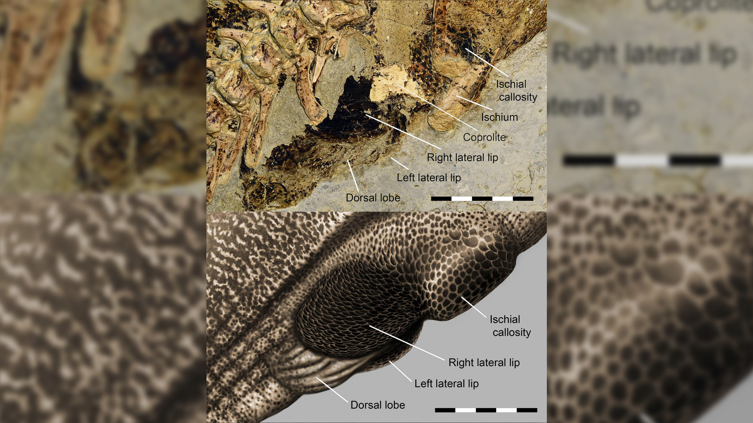 A close-up look of the preserved Psittacosaurus cloacal vent (top) and an illustration of how it may have looked (bottom).