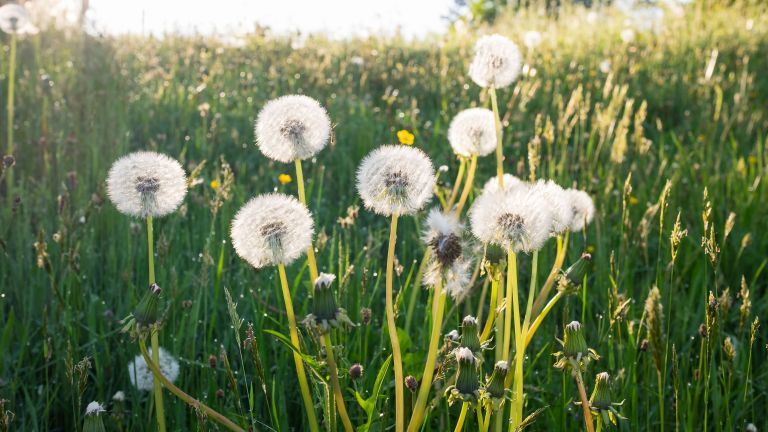 how to get rid of weeds: dandelion seed heads in sunlight