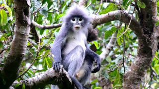 The Popa langur (Trachypithecus popa) is named after the sacred Mount Popa, which holds the largest population of the species with just over 100 animals.