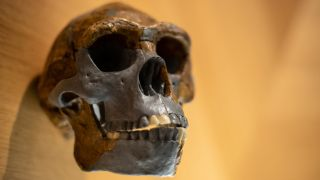 Homo erectus skull.
