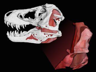 T. rex jaw