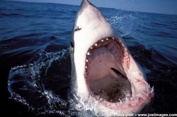 Image Gallery Great White Sharks Live Science