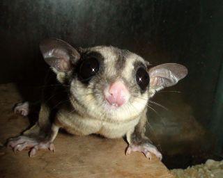 A marsupial sugar glider