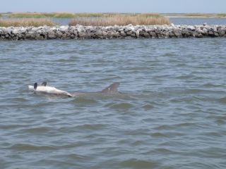 Dolphin with dead calf