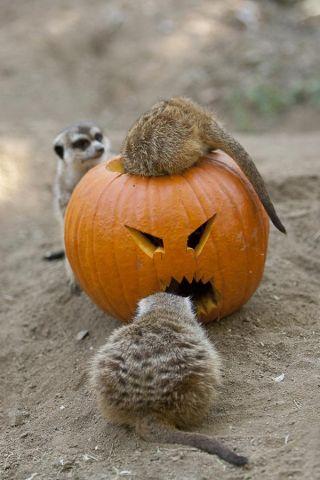 pumpkins_web_