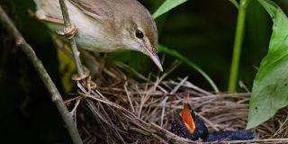 Cuckoo Chick in Nest