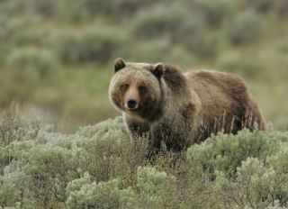 grizzly bear posing in the wilderness