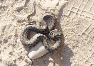 snake mimic
