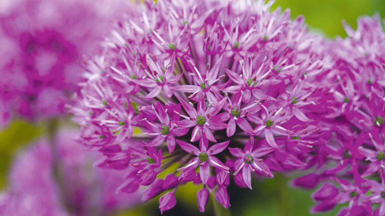 Alliums are great flowers to attract bees