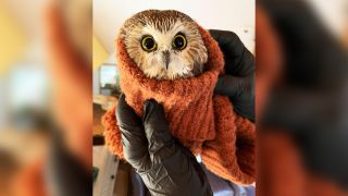 Rockefeller, the stowaway owl found in the Norway Spruce taken to Rockefeller Center, all wrapped up in a sweater.
