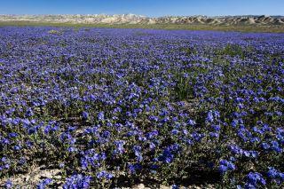 wildflowers, carizzo