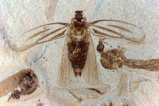 Two fossil crane flies flank an extraordinarily preserved tree hopper.