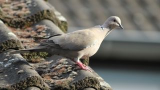 Light-colored pigeon perching on a rooftop.