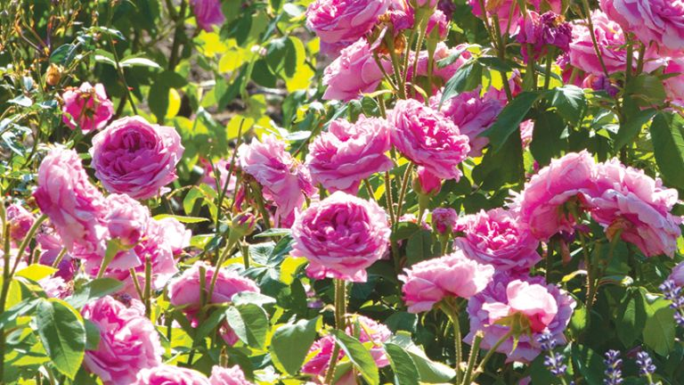 How to prune roses - pink roses in a garden
