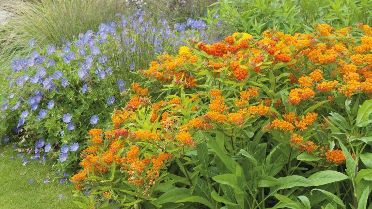 Butterfly flower - Asclepias tuberosa