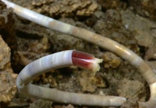 Deep-sea Worms