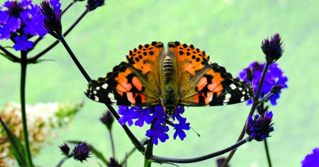 Weighing just 200mg, the fragile painted lady butterfly makes one of the most extraordinary migrations on Earth.