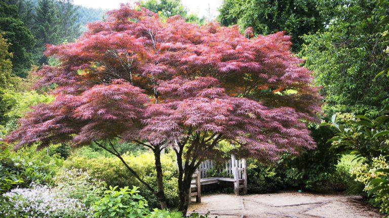 how to grow acers