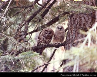 The northern spotted owl was championed by environmental groups who sought to see it protected.