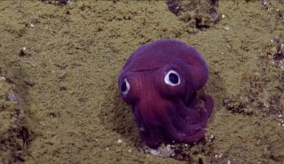 stubby-squid-nautilus