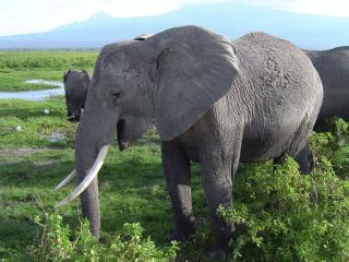African elephant in Kenya.