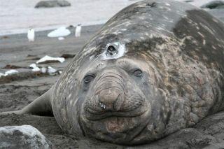 A shedded elephant seal with a sensor on its head.