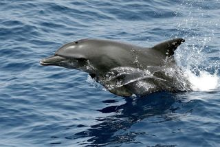 A bottlenose dolphin jumps through the water.