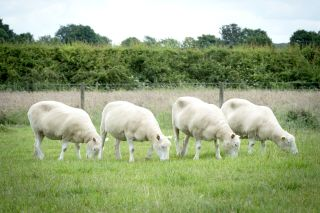 Several sheep that are clones of each other graze together in a field.