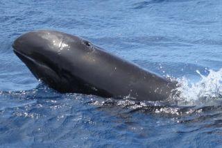 A melon-headed whale.