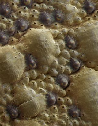 A sea mollusk called a chiton is equipped with hundreds of eyes (shown here in this light micrograph) made out of the mineral aragonite, the same stuff its armor is made from.