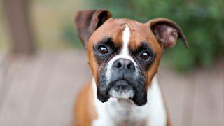 Close up of Boxer dog looking at camera