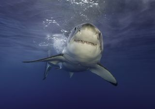 Underwater view of a great white shark during a cage diving trip at Guadalupe Island.
