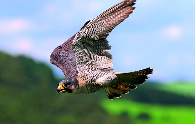 Super Fast Falcon