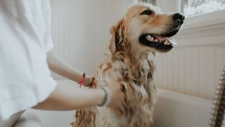 dog sprayed by skunk: how to get skunk smell off a dog