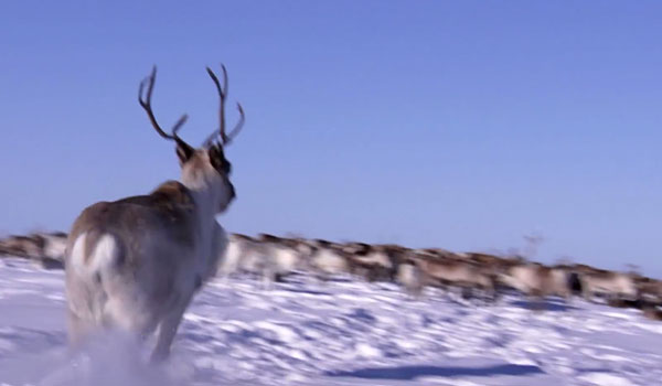 Watch This Dude Castrate A Reindeer With His Teeth For PBS' New Show