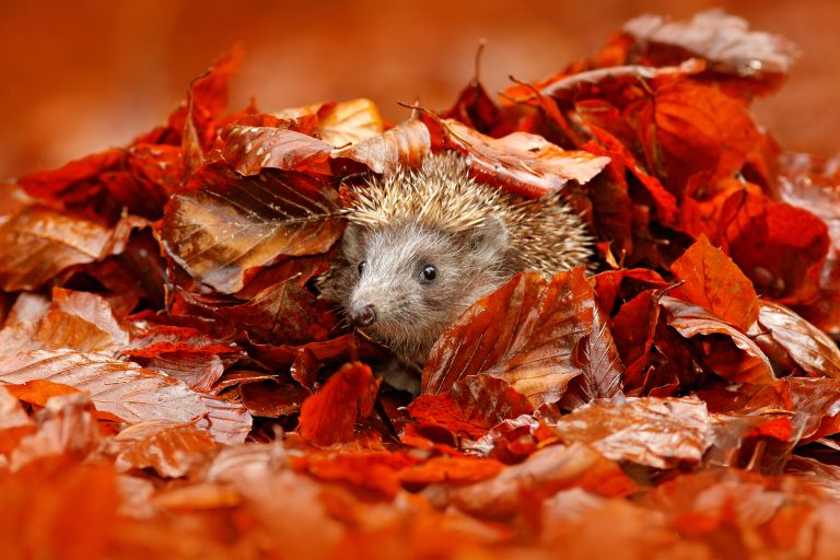bonfire night: hedgehog in autumn garden