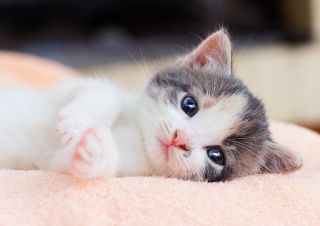 A kitten lying on a blanket.