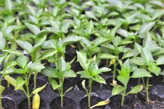 Chili plant seedlings being germinated.