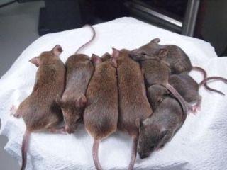 cloned mice
