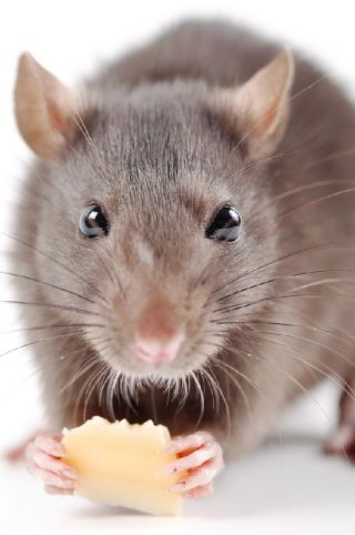 Rats are among the best biters of the rodent world, a study indicates