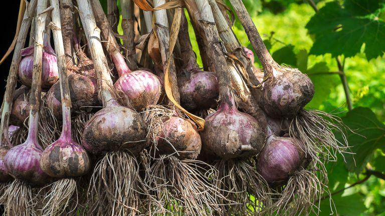 harvesting garlic from a vegetable plot