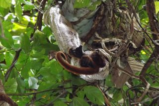 A boa constrictor eating an adult female Purús red howler monkey. Usually boa constrictors have been known to eat smaller animals.