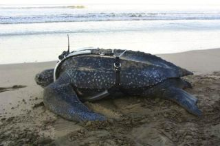 leatherback-turtle-tracker-110209-02