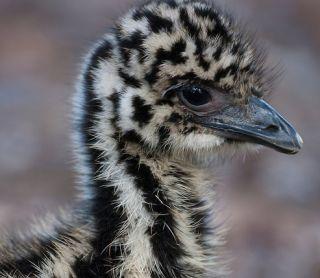 Emu chick