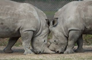 A pair of white rhinos at Thoiry Zoo.