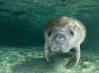 A manatee swims in the springs of Crystal River, Florida.