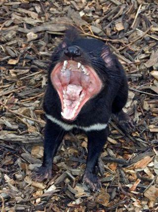 healthy tasmanian devil