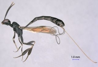G. pannuceum Wasp Species