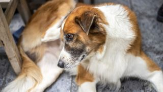Topical flea treatment vs. oral - dog scratching