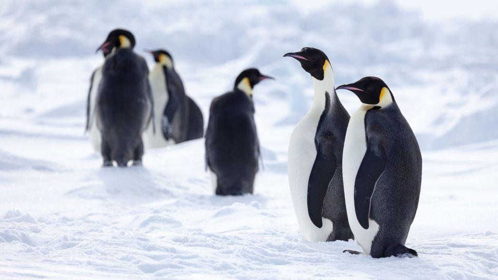 Băng tan có thể dẫn đến sự sụt giảm 98% số lượng chim cánh cụt vào cuối thế kỉ 21